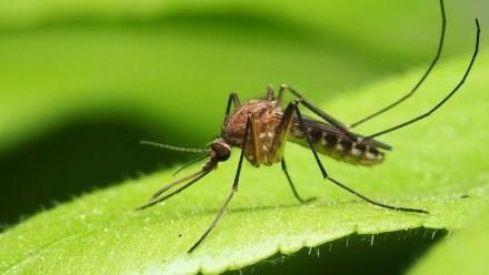 Usir Nyamuk Secara Alami Dengan Tanaman Ini