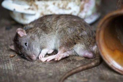 Cara Ampuh Basmi Tikus di Rumah