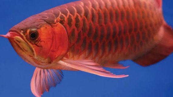 4 Jenis Ikan Pembawa Keberuntungan