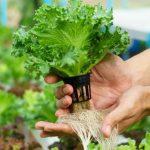 Menanam Sayur Dan Buah Hidroponik Sendiri Di Rumah