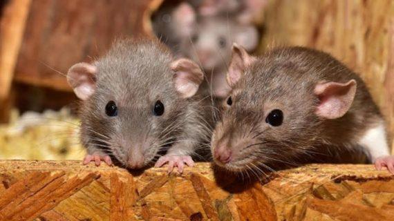 Bahaya Urine Tikus Di Rumah