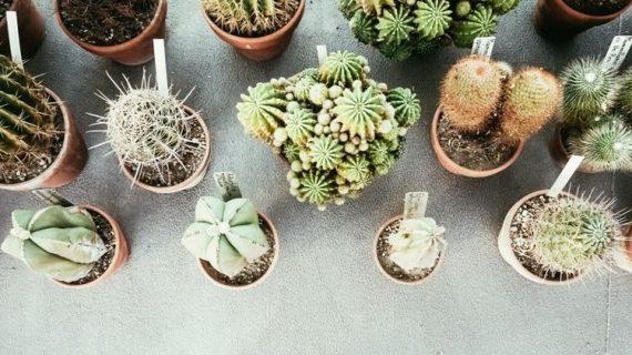 Tips Mudah Merawat Taman Kaktus Mini