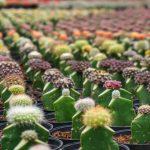 Tips Memulai Taman Kaktus dan Cara Mudah Merawatnya