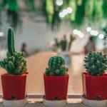 Punya Kaktus di Rumah? Coba 7 Tips Mudah Ini Agar Kaktus Awet dan Panjang Umur